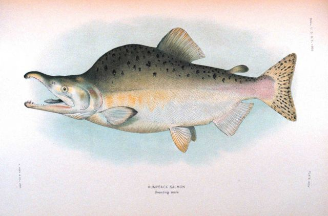 Humpback salmon, breeding male Picture
