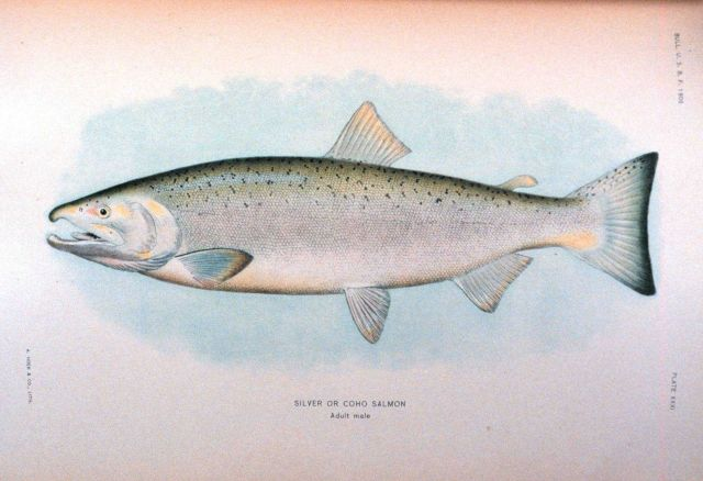 Silver or Coho salmon, adult male Picture
