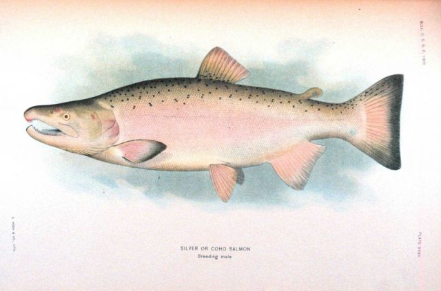Silver or Coho salmon, breeding male Picture