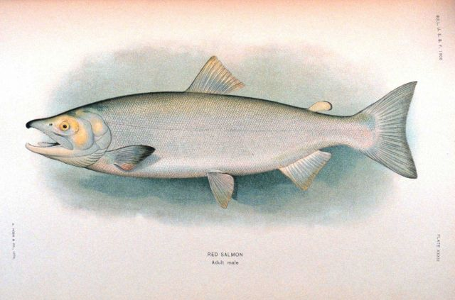 Red salmon, adult male Picture