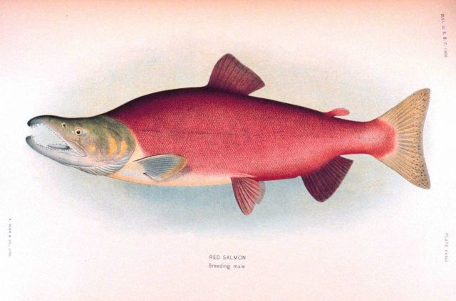 Red salmon, breeding male Picture