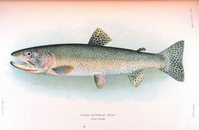 Alaska cutthroat trout Picture