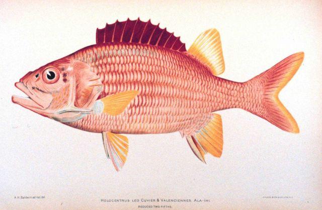 Holocentrus leo Cuvier & Valenciennes Picture