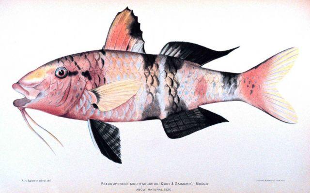 Pseudupeneus multifasciatus (Quoy & Gaimard) Picture