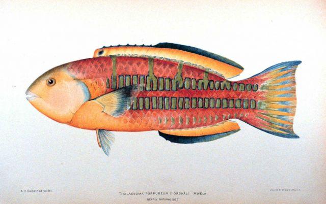 Thalassoma purpureum (Forskal) Picture