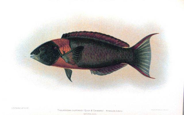 Thalassoma duperrey (Quoy & Gaimard) Picture
