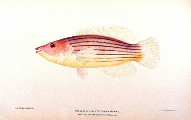 Pseudocheilinus octotaenia Jenkins Picture