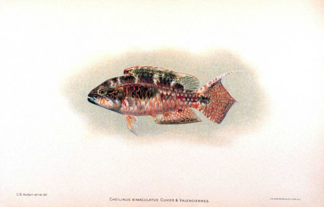 Cheilinus bimaculatus Cuvier & Valenciennes Picture