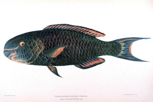 Pseudoscarus jordani Jenkins Picture