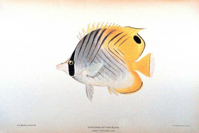 Chaetodon setifer Bloch Picture