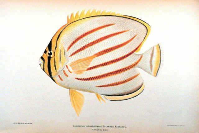Chaetodon ornatissimus Solander Picture
