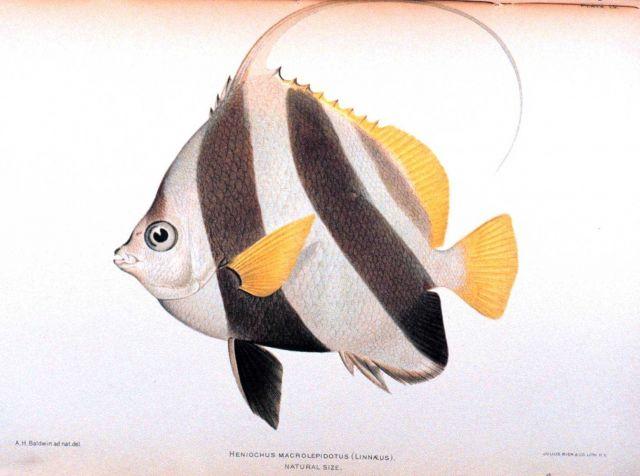 Heniochus macrolepidotus (Linnaeus) Picture