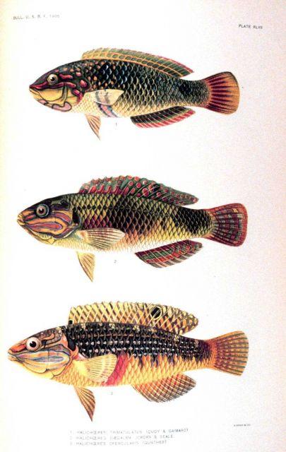 1 Halichoeres trimaculatus (Quoy & Gaimard) 2 Halichoeres daedalma Jordan & Seale 3 Halichoeres opercularis (Gunther) Picture