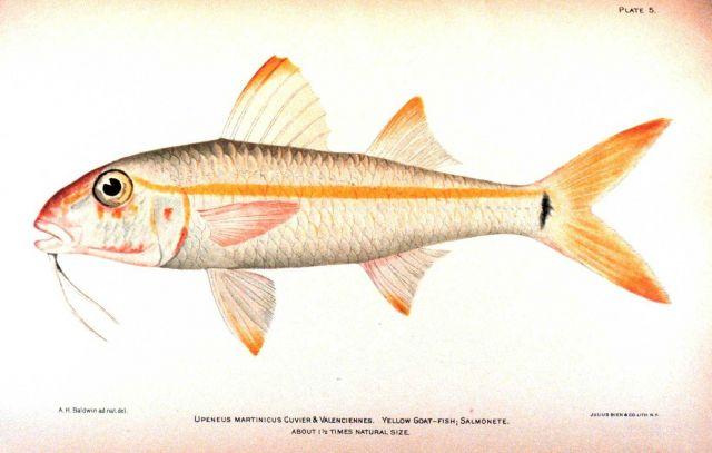 Upeneus martinicus Cuvier & Valenciennes Picture