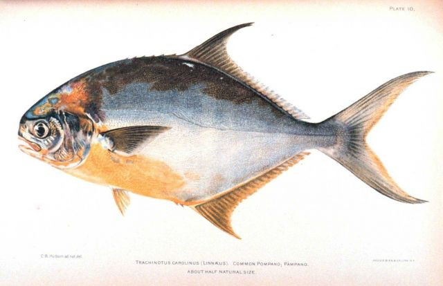 Trachinotus carolinus (Linnaeus) Picture