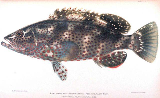 Epinephelus adscensionis (Osbeck) Picture