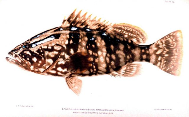 Epinephelus striatus (Bloch) Picture