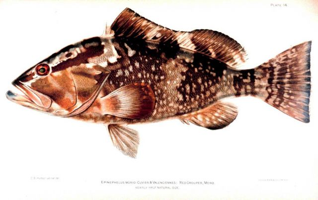 Epinephelus morio (Cuvier & Valenciennes) Picture