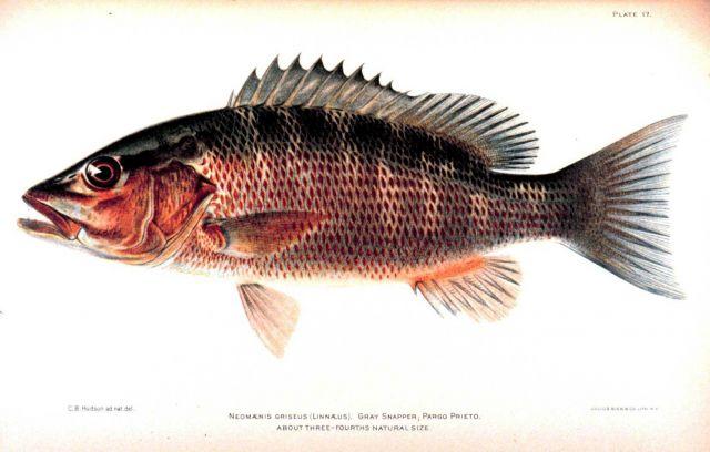 Neomaensis griseus (Linnaeus) Picture