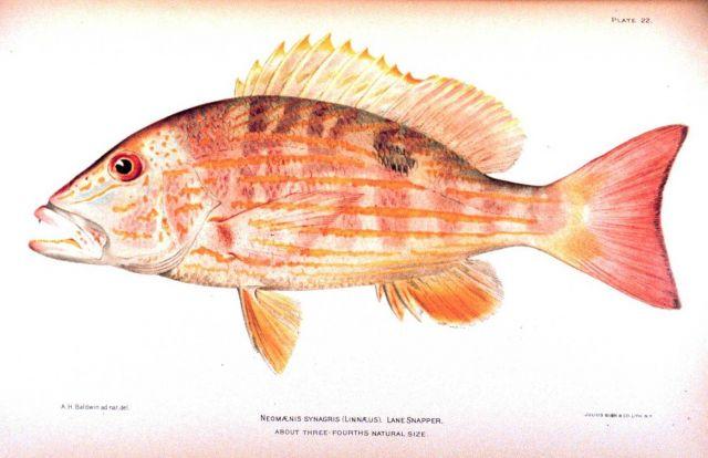 Neomaensis synagris (Linnaeus) Picture