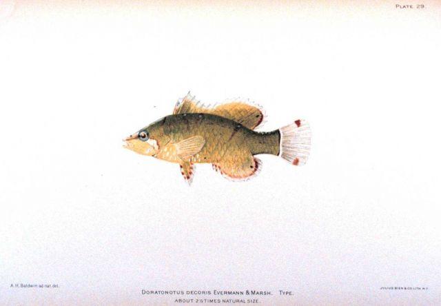 Doratonotus decoris Evermann & Marsh Picture