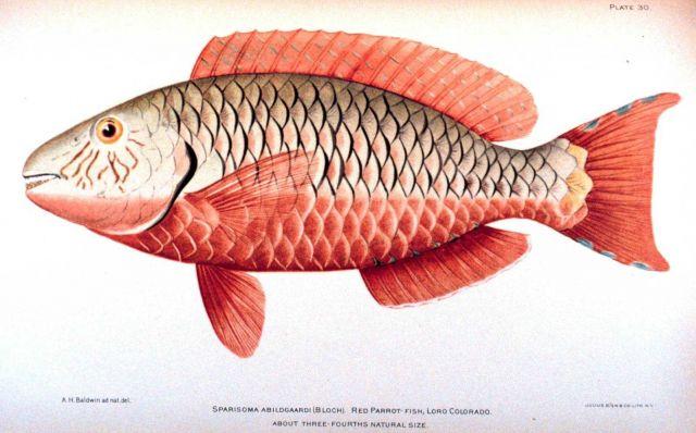 Sparisoma abildgaardi (Bloch) Picture