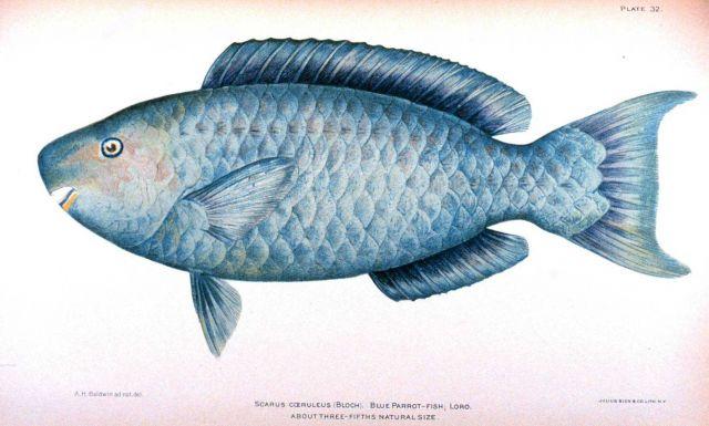Scarus coeruleus (Bloch) Picture