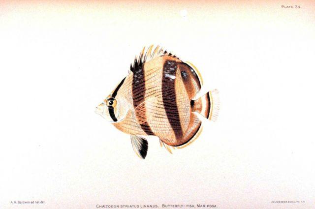 Chaetodon striatus Linnaeus Picture
