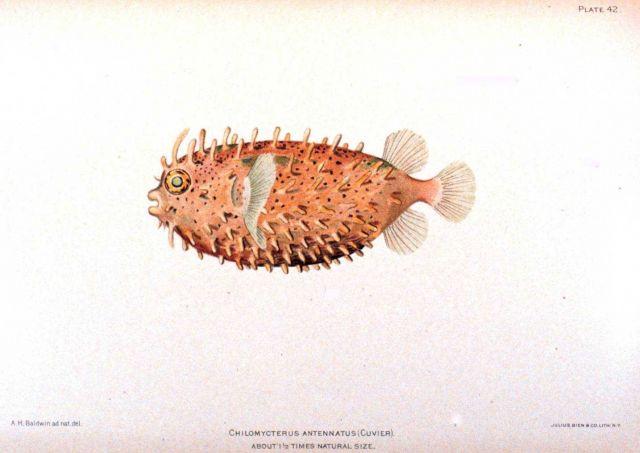 Chilomycterus antennatus (Cuvier) Picture