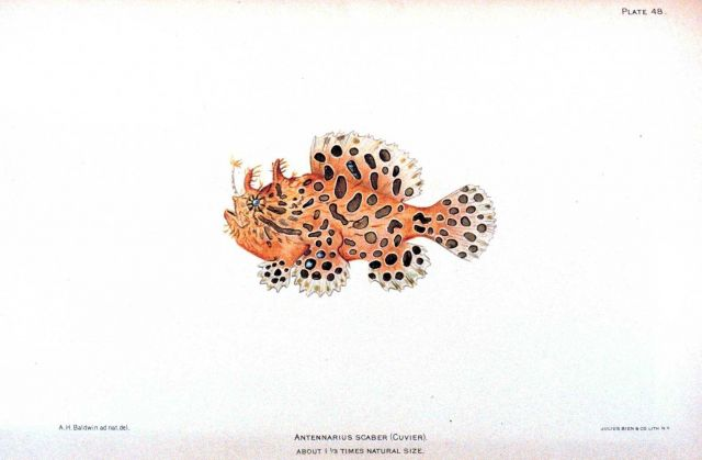 Antennarius scaber (Cuvier) Picture