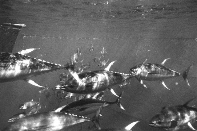 Yellowfin tuna - Thunnus albacares Picture