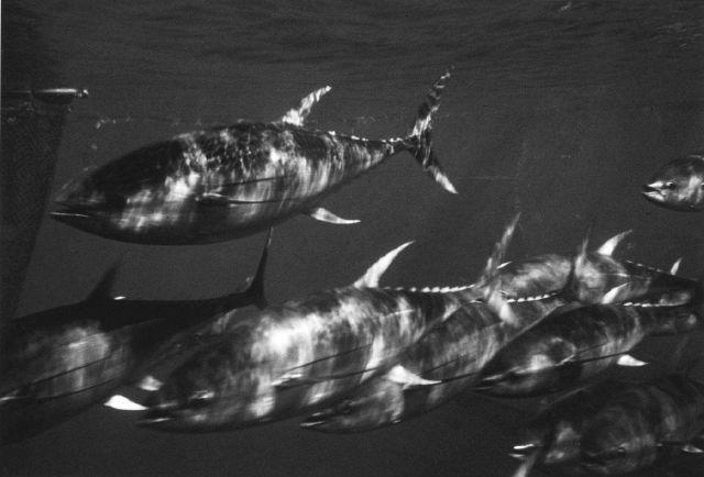 Yellowfin tuna - Thunnus albacares. Picture