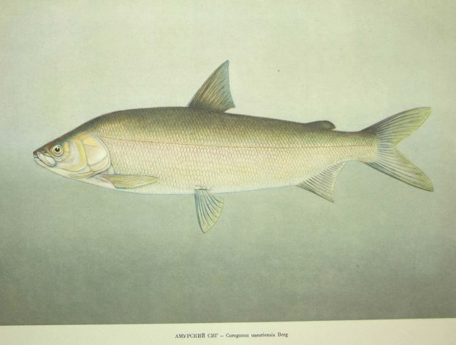 Plate 68 Picture