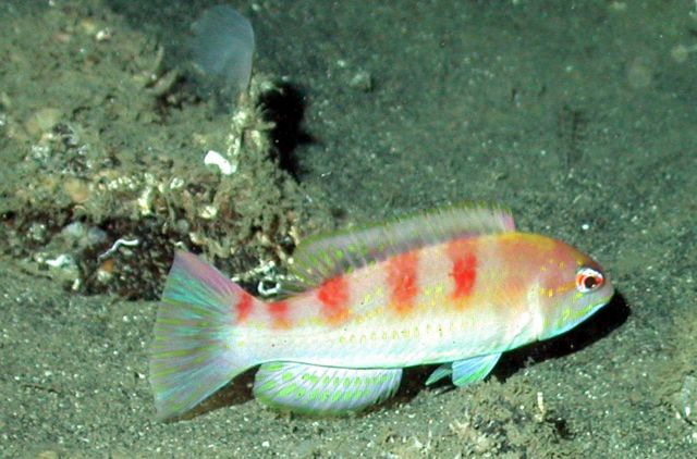 A red hogfish (Decodon puellaris) Picture