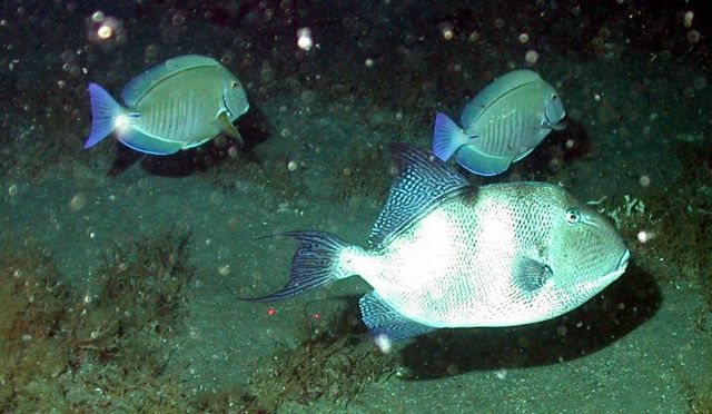 A triggerfish and a doctorfish. Picture