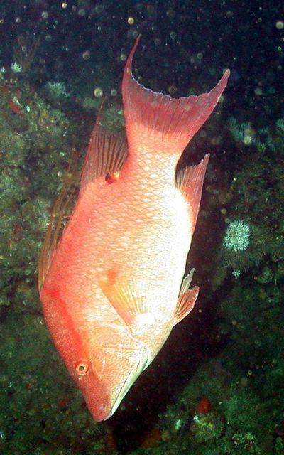 Order - Perciformes; Family - Labridae; Genus - Lachnolaimus; Species - maximus Picture