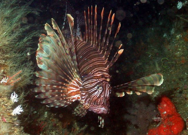 A large lionfish Picture