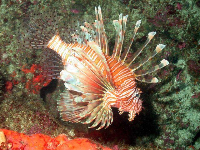 A large lionfish Picture