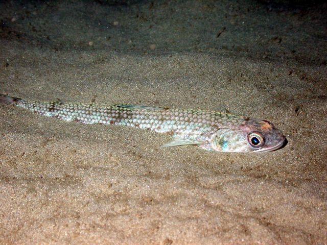 A lizardfish, Synodus sp. Picture