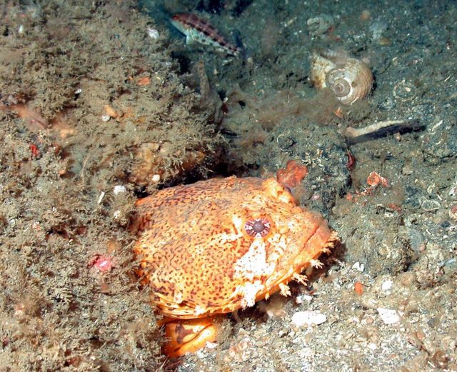 Oyster toadfish, Opsanus tau. Picture