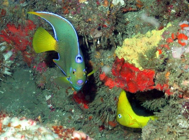 Queen angelfish,Holacanthus ciliaris, and rock beauty, Holacanthus tricolor. Picture