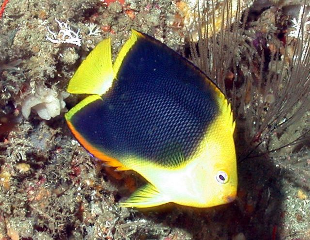 Rock beauty, Holacanthus tricolor. Picture