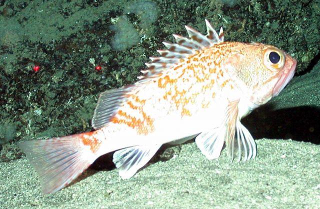 Scorpionfish Picture