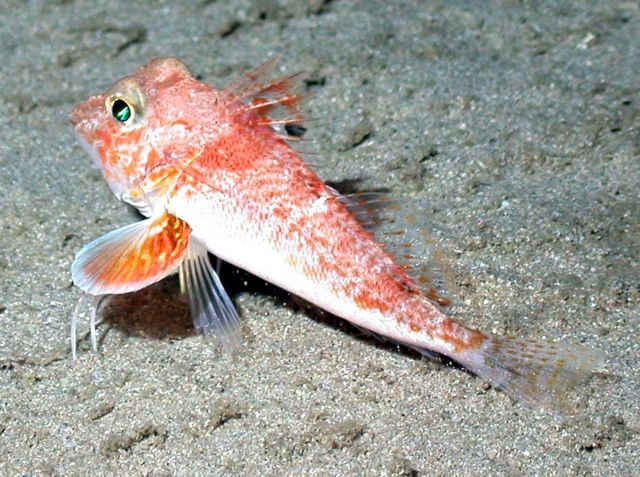 A sea robin. Picture