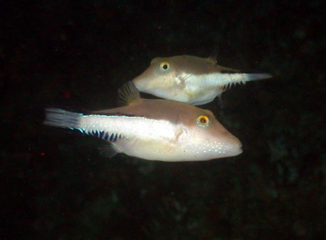 Sharpnose pufferfishes. Picture