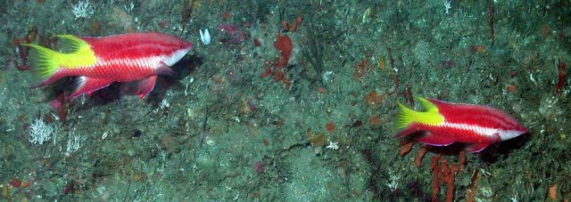 Two spotfin hogfishes (Bodianus pulchellus). Picture