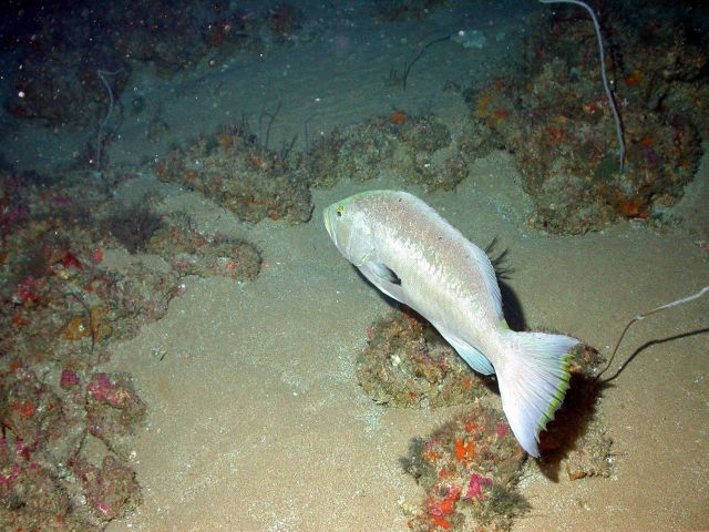 Yellowmouth grouper (Mycteroperca interstitialis). Picture