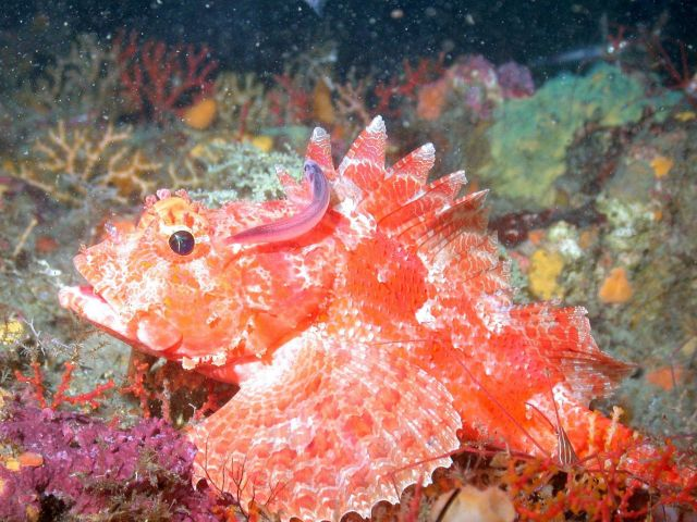A beautiful scorpionfish. Picture