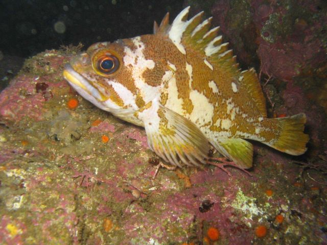 Gopher rockfish perched on rock Picture