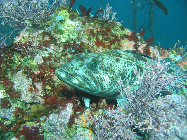 Lingcod hiding motionless on a reef Picture